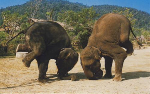 elephant headstands